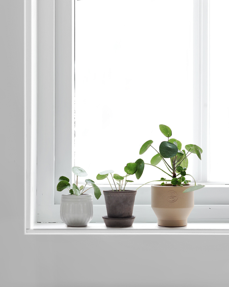 Pilea Love : How to propagate your Pilea